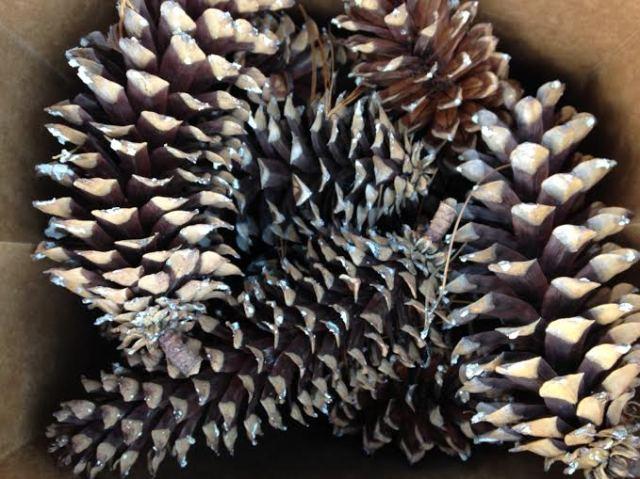 Foraged pine cones | Megan's Island Blog