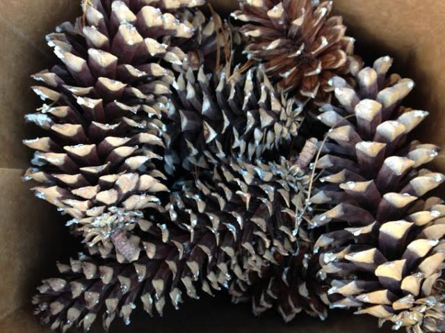 Foraged pine cones | Megan's Island Blog