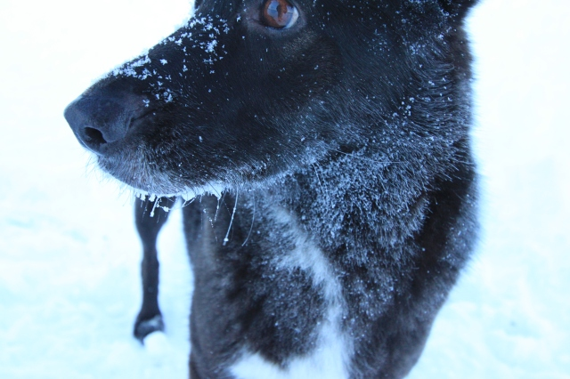 Brrr! Frozen whiskers