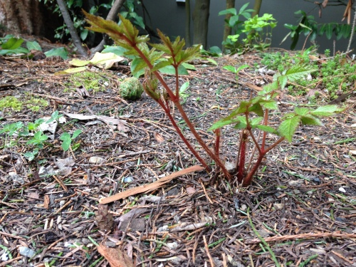 Sprouting astilbe