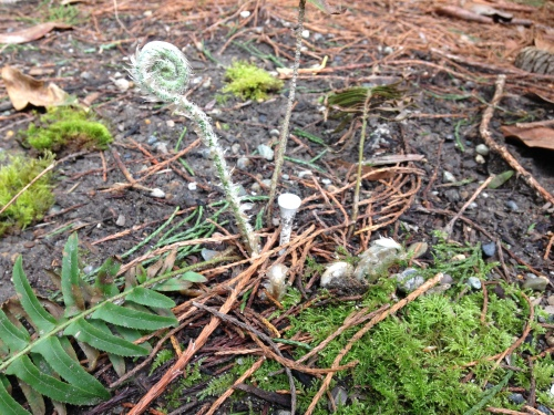 Ferns: returning! Love me some fiddleheads