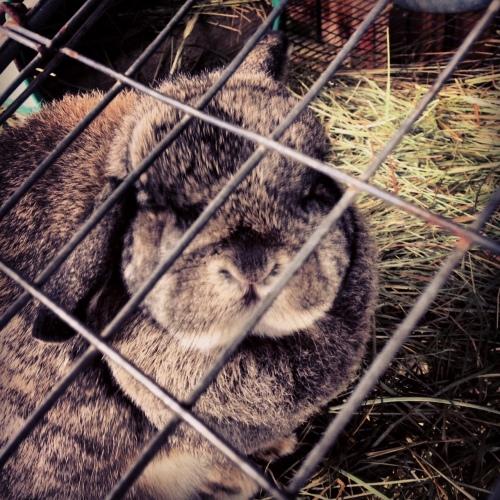 Bunny at Kelsey Creek Farm