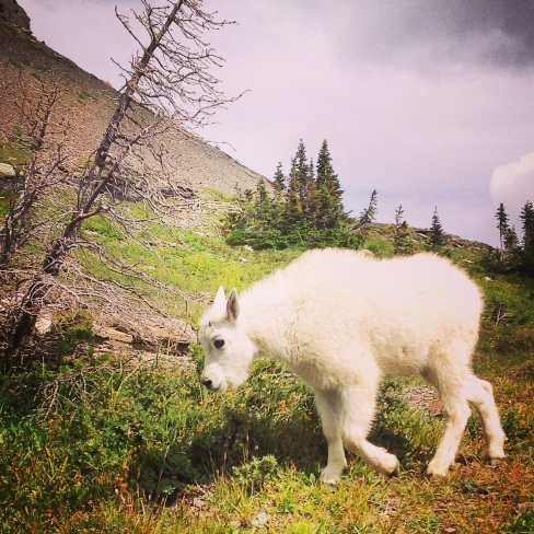 The other baby mountain goat