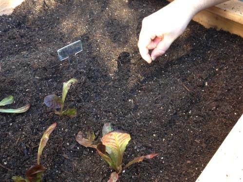 Planting beet seeds