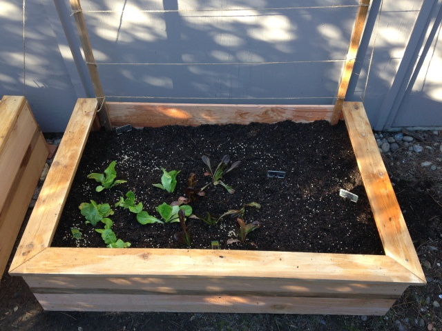 Raised bed #2: Lettuces, sweet peppers, snap peas, and beets