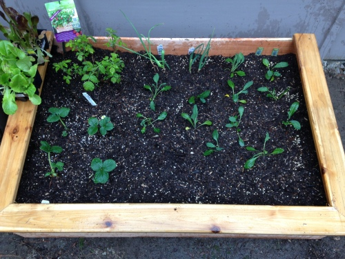 Raised bed #1: Raspberries, strawberries, kale, beets, garlic bulbs and carrots!