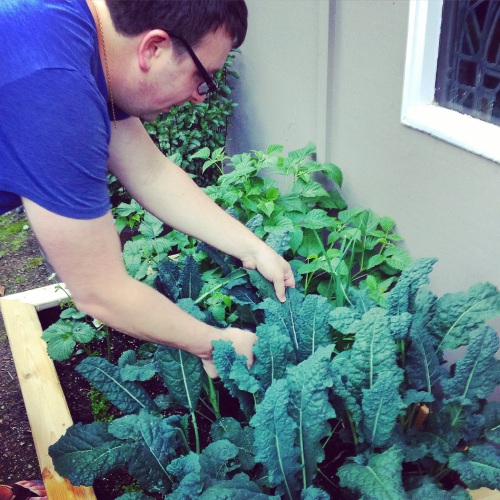 Harvesting our first kale crop!!!