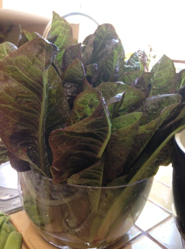 The romaine part of our harvest. (Bibb lettuce portion not pictured.)